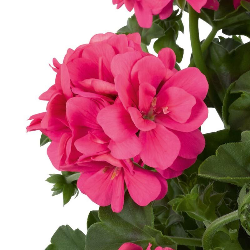 Sunflair Pink (Linda)