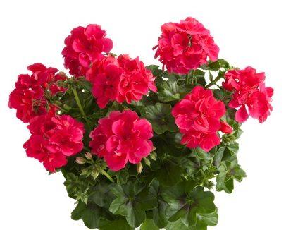 Sunflair Hot Pink (Josina)