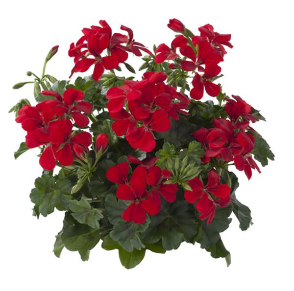 Villetta Red