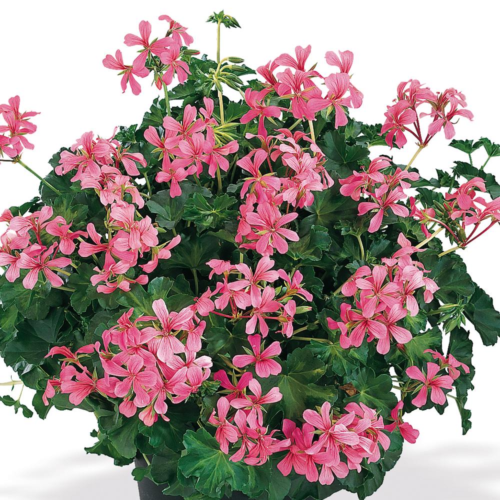 Decora rózsaszín / rose