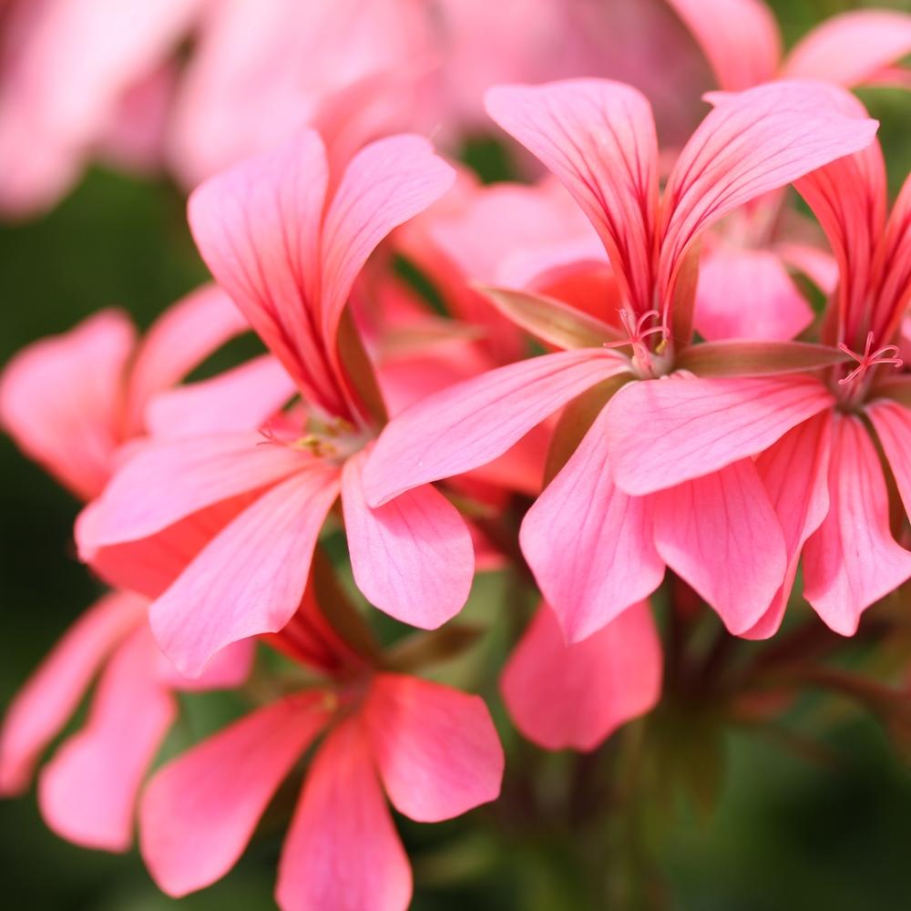 Ville rózsaszín / rose