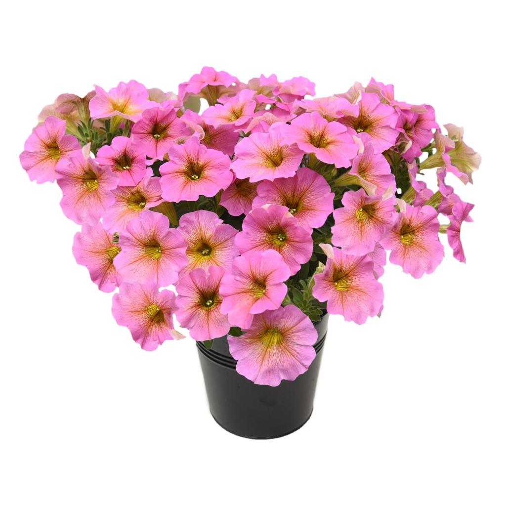 Petunia Beautical