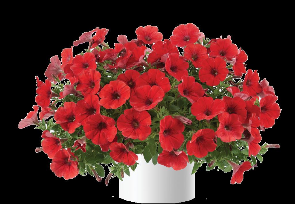 Capella Ruby Red