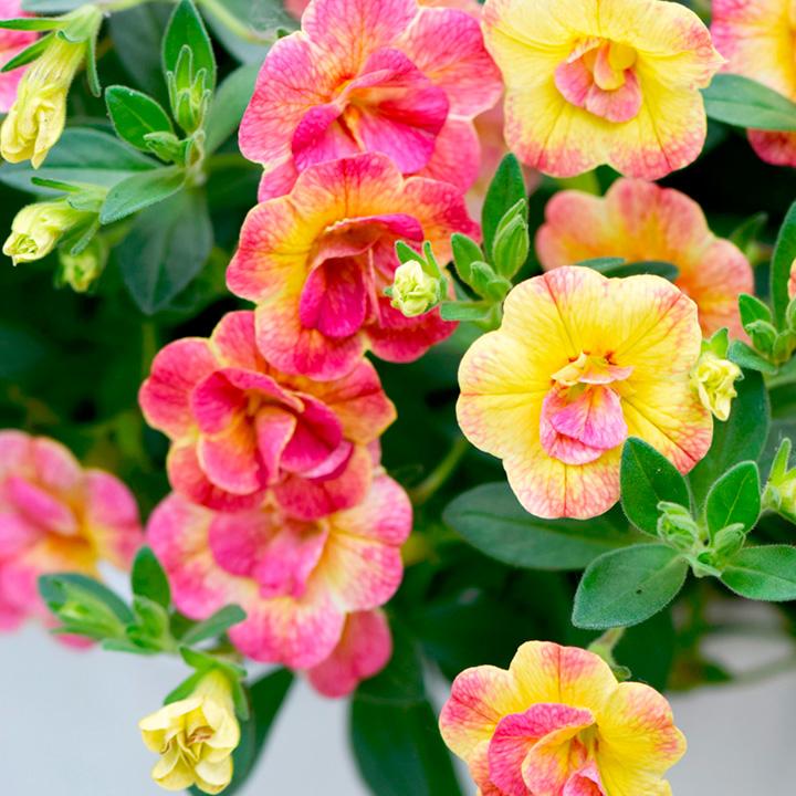 Chameleon Double Pink Yellow