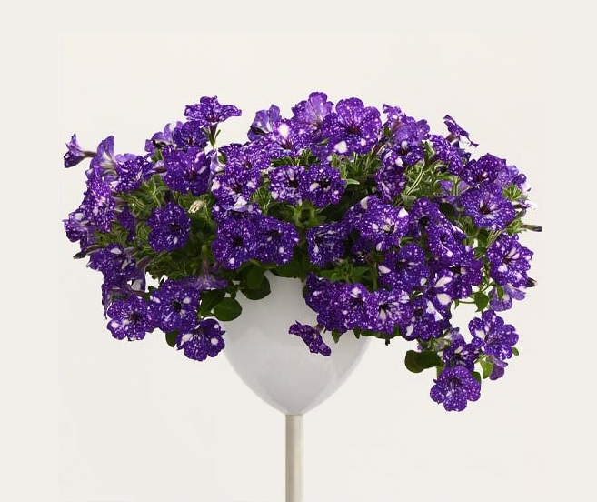Petunia WFL Constellation