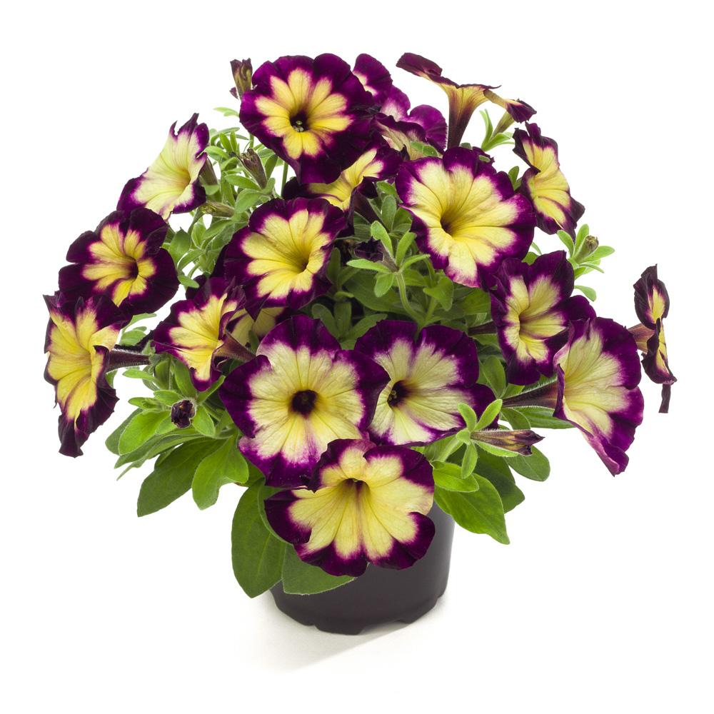 Petunia WFL Crazytunia