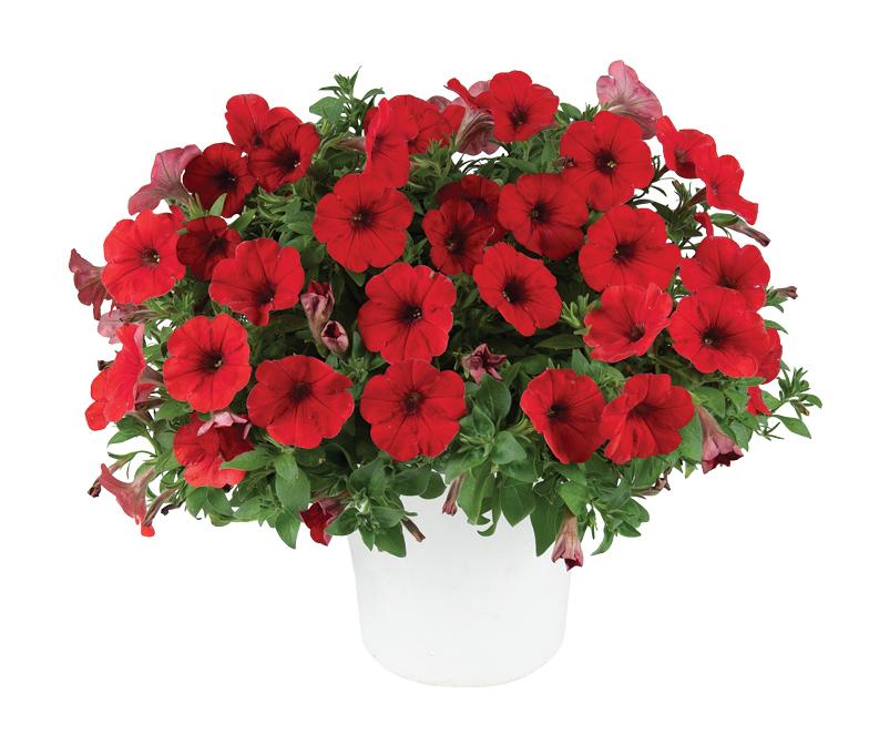 Capella Ruby Red (új)