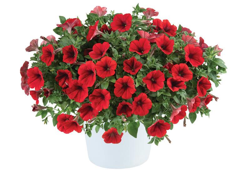 Cascadias Red (új)