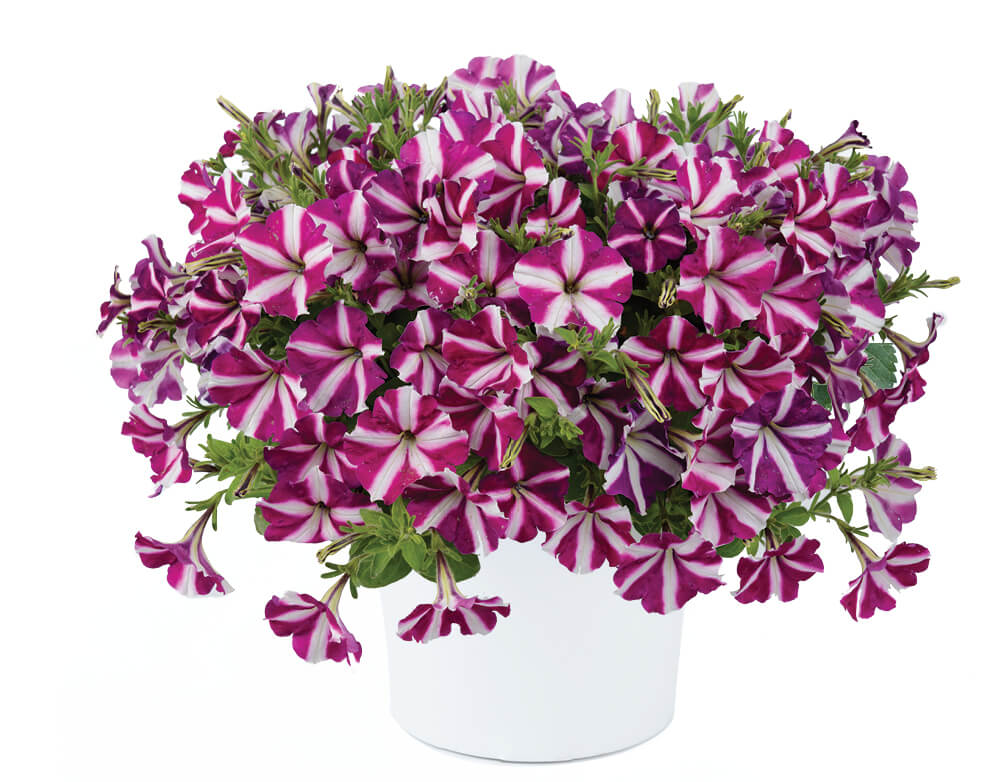 Petunia Danziger