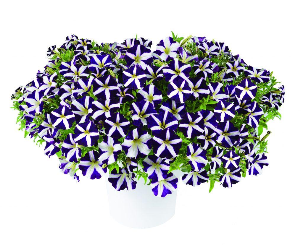 Amore Purple