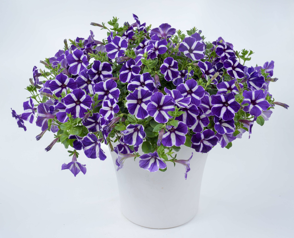 Cascadias Purple Gem