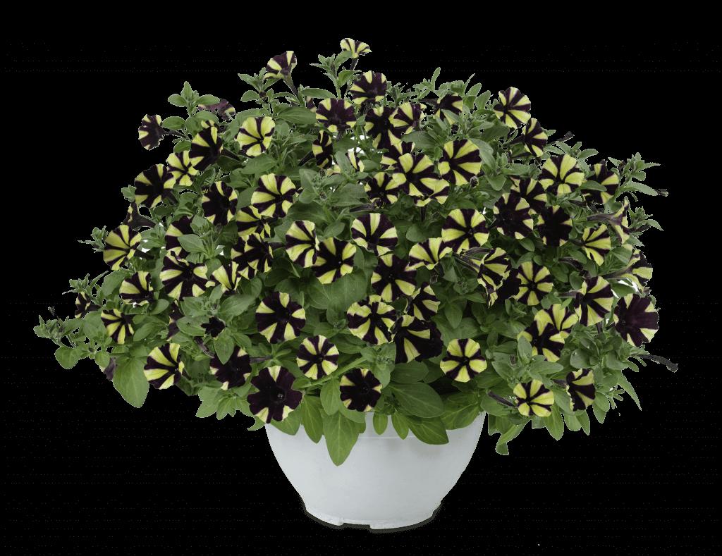 Littletunia Bicolor Black