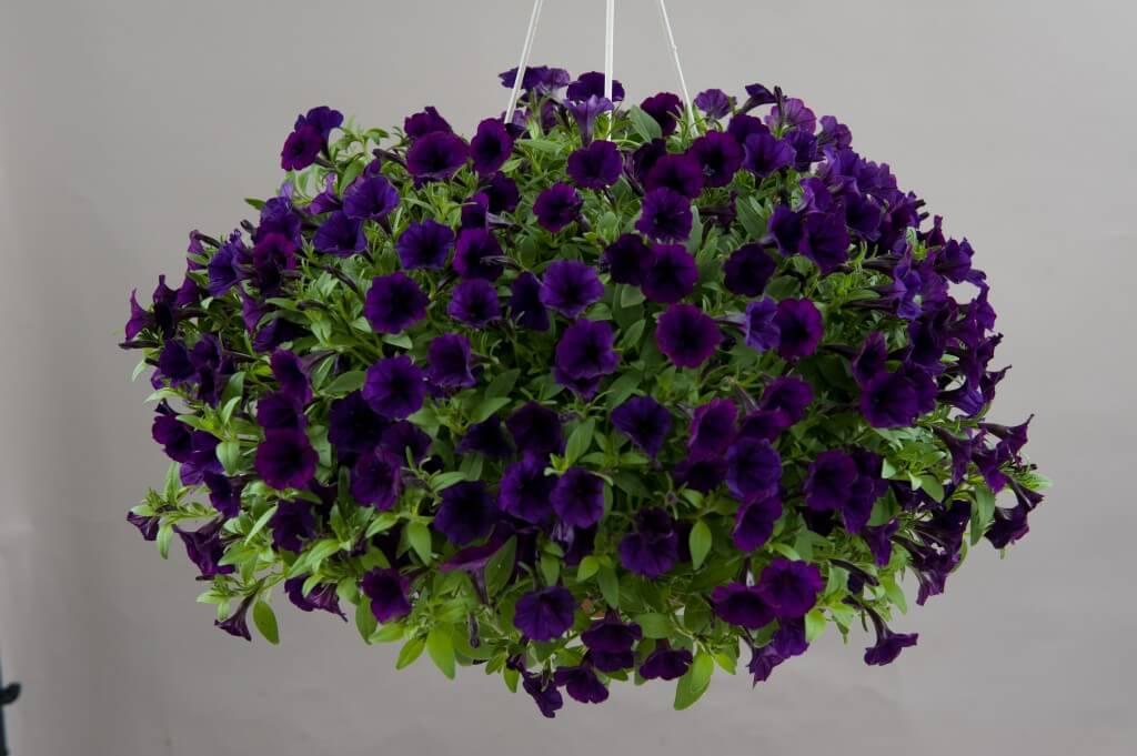 Littletunia Purple Blue