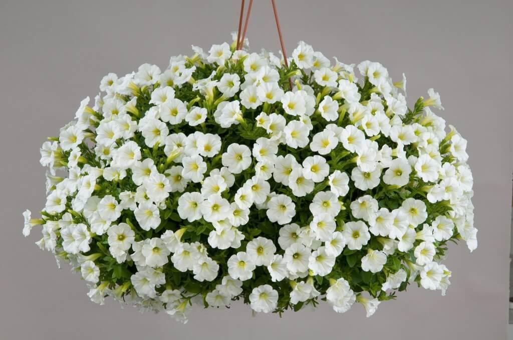 Littletunia White Grace