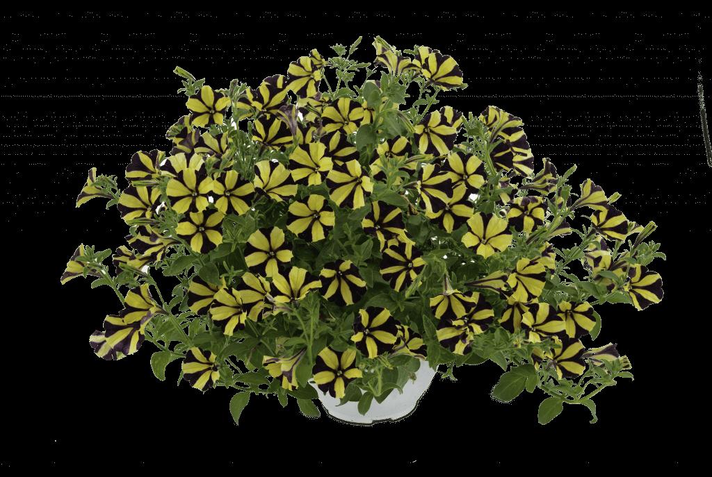 Sunflower Ray