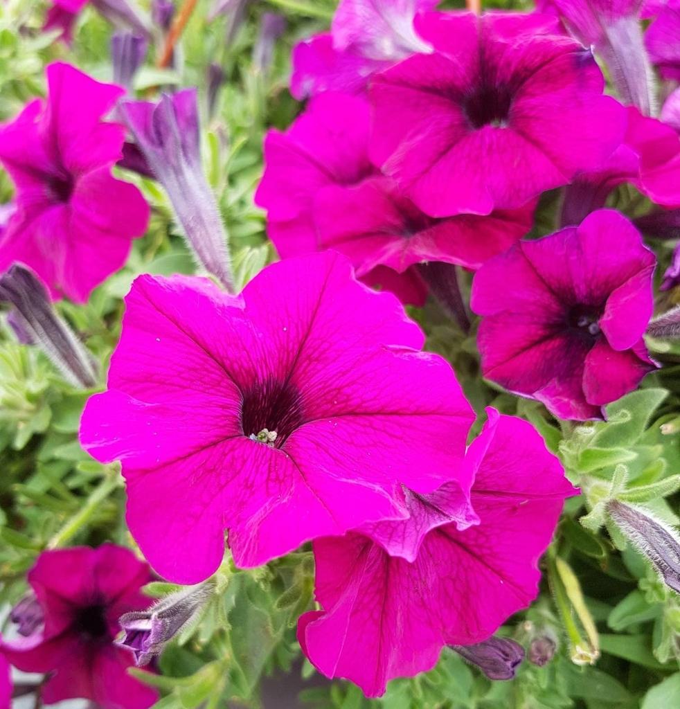 Purplego