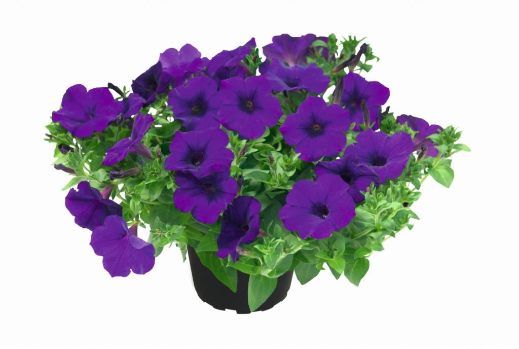 Kuyamba Lilac Blue