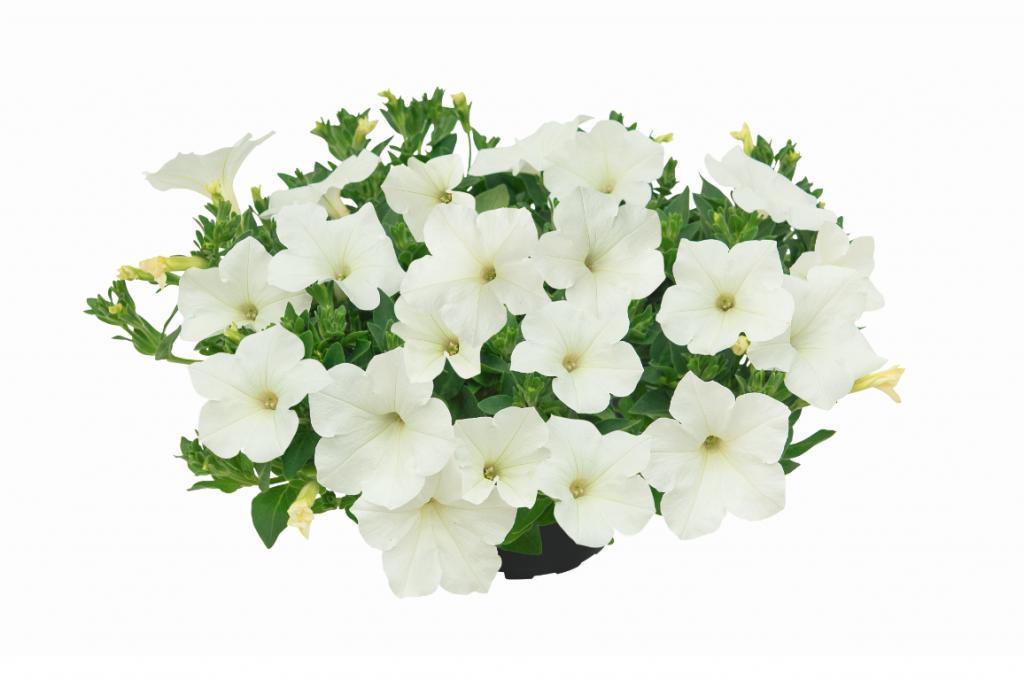 Kuyamba White