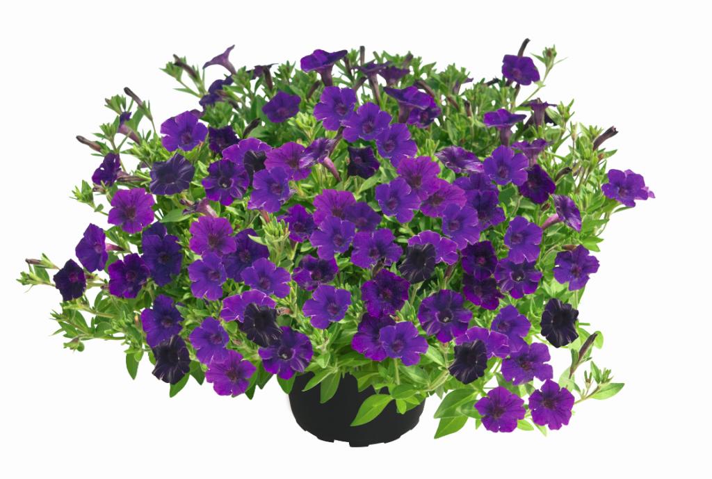 Mini Vista Violet