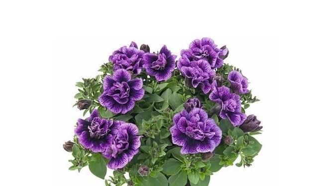 Petunia Telt Virágú Fajták