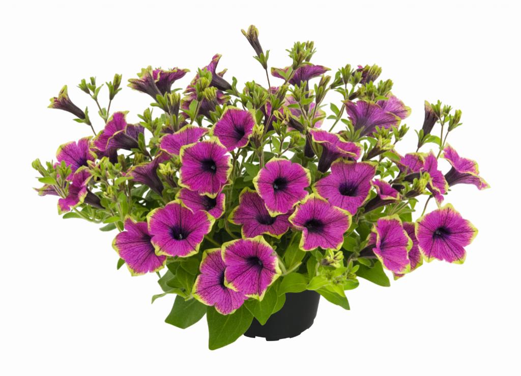 Buzz Purple (új)