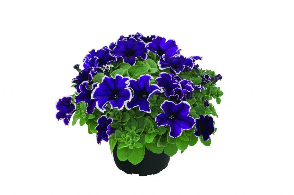 Blue Picotee