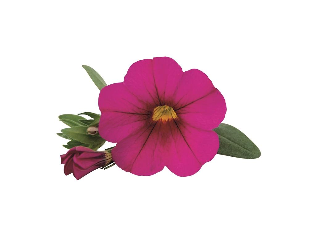 Dark Pink PW