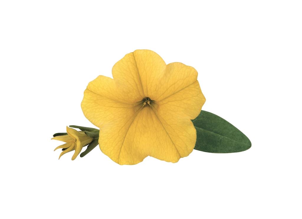 Golden Yellow PW