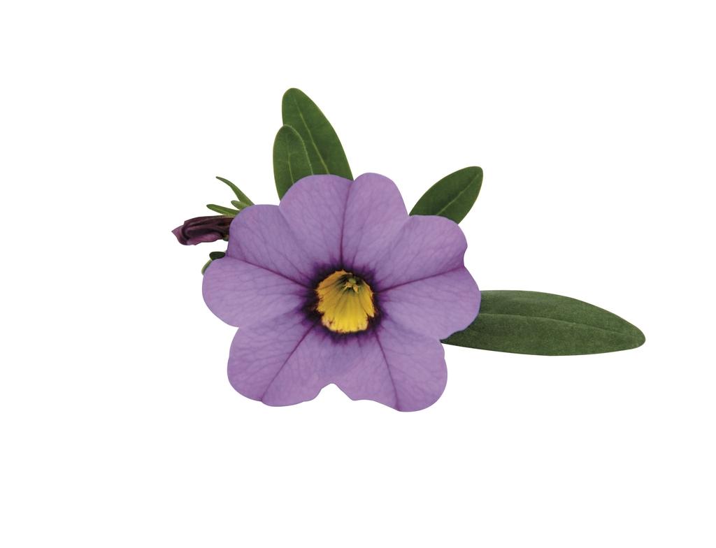 Lavender PW