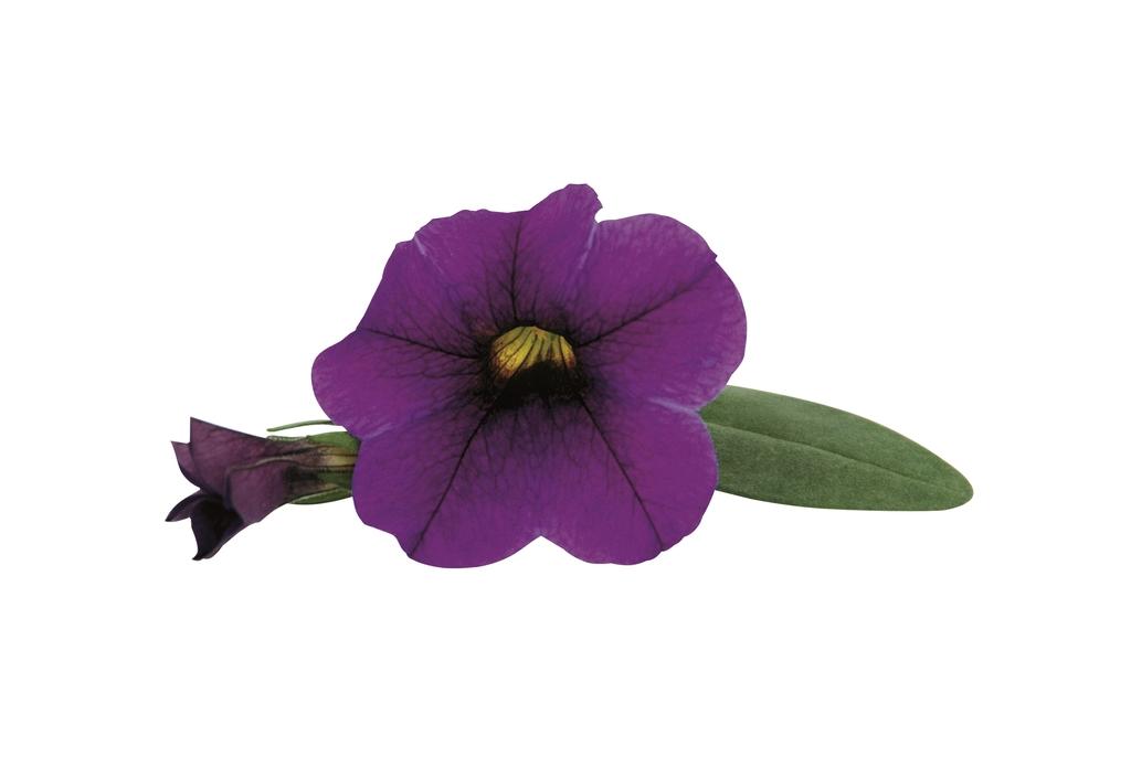 Lilac PW