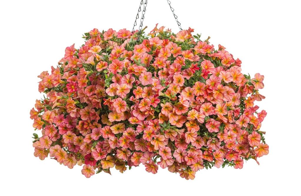 Calibrachoa Superbells PW különleges színek