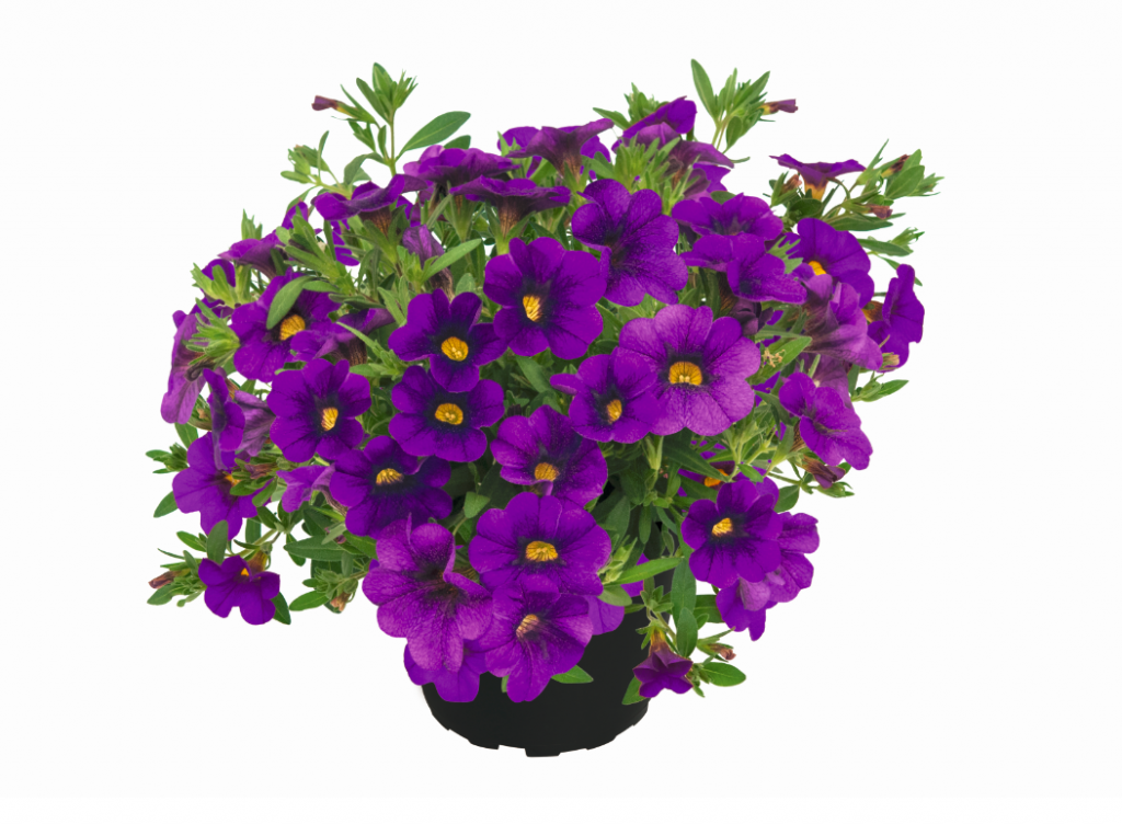 Pocket Lilac