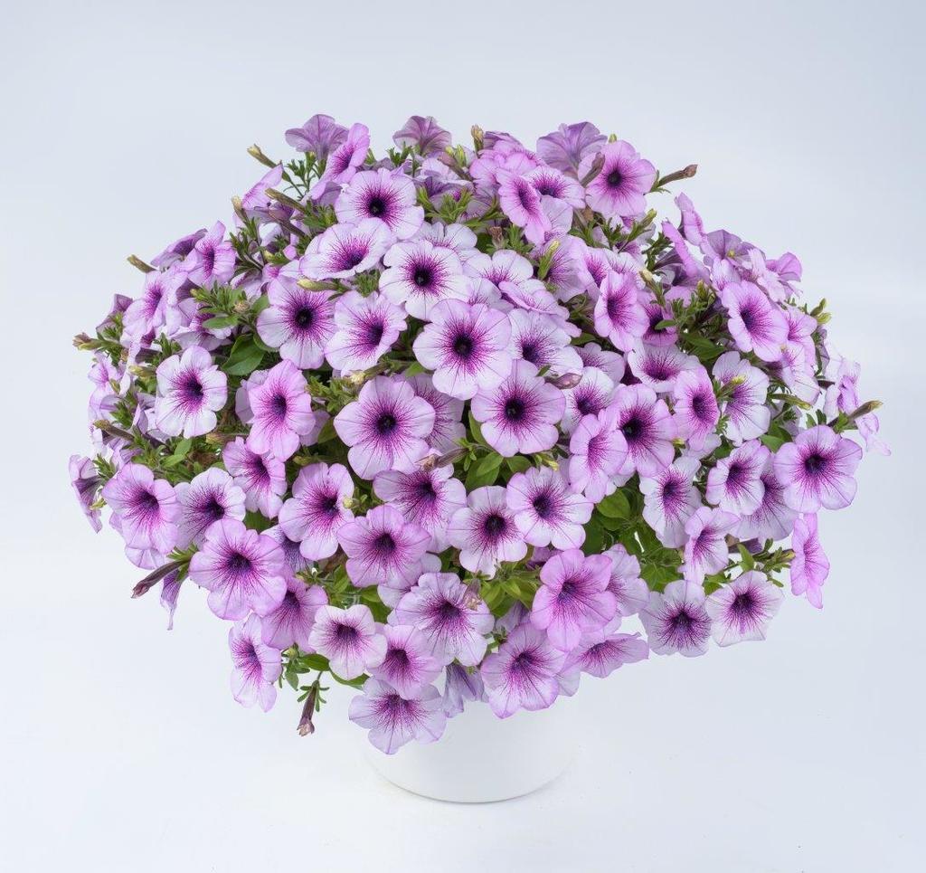 Compact Purple Vein
