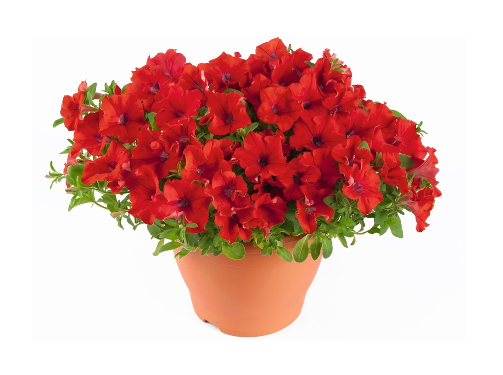Trailing Red