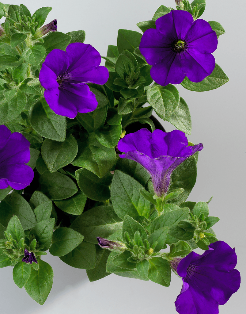 Petunia Surfinia Violet