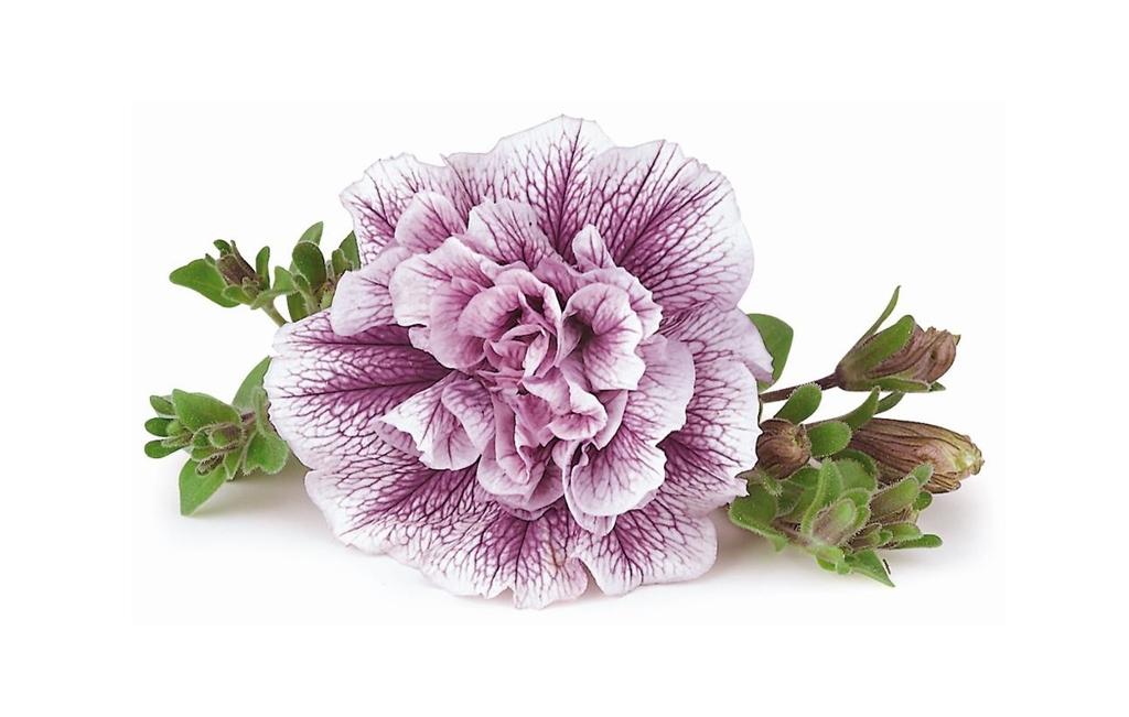 Lavender Bouquet PW