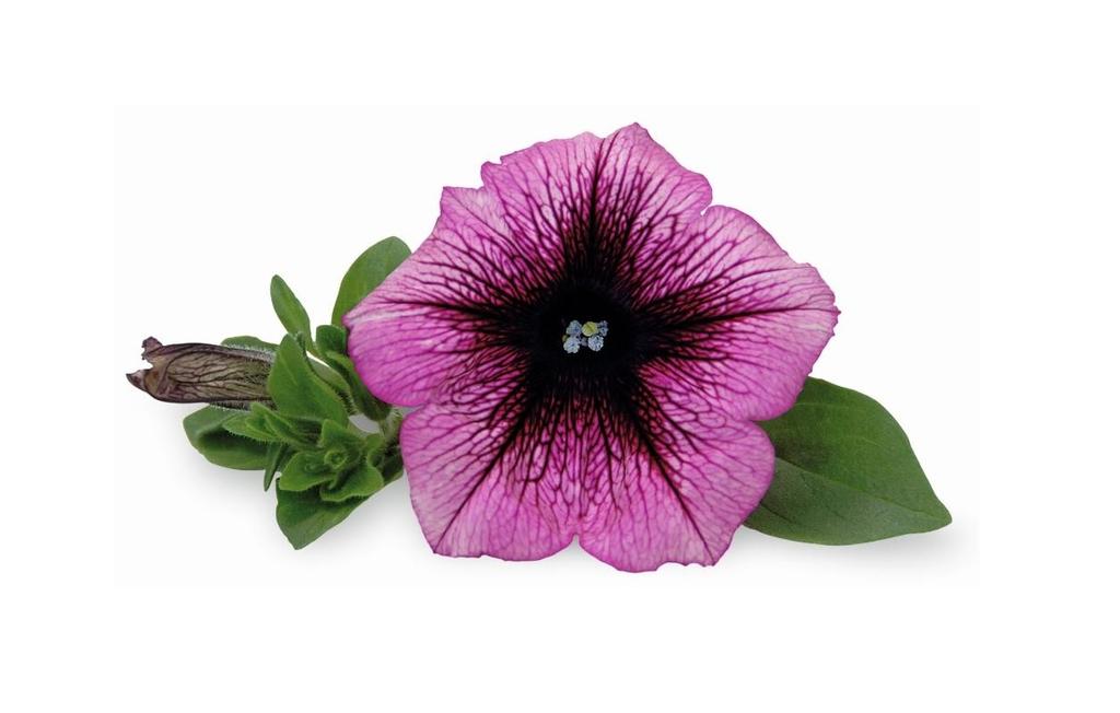 Veranda Orchid PW