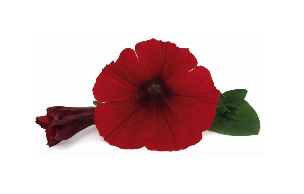 Veranda Scarlet Impr. PW
