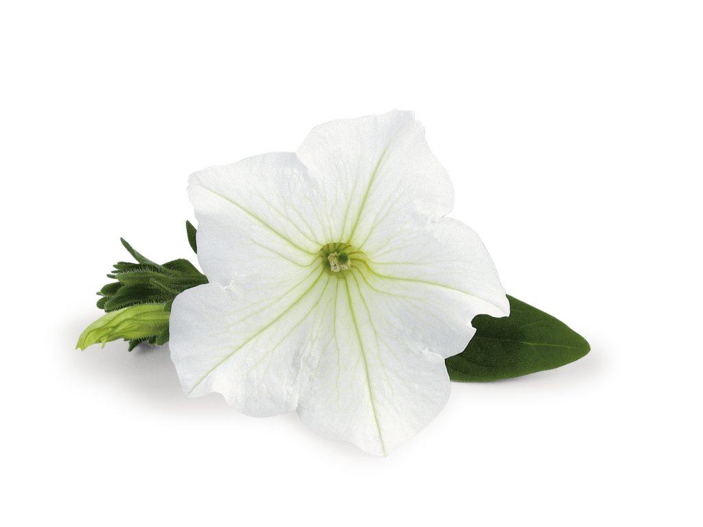 Veranda White PW